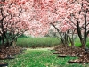 gorgeous-flower-trees-wallpaper-for-ipad-22560x1920ipad-3-wallpaper875